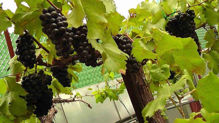 Vinícola Urbana, uva cabernet Sauvignon