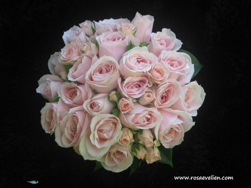 Rosa Evelien