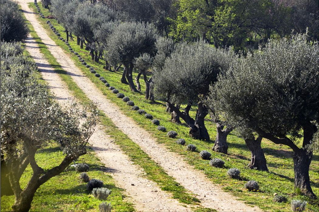 L'allée des oliviers
