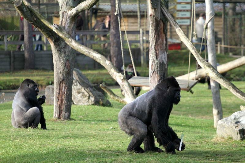 Gorilla's Safaripark Beekse Bergen