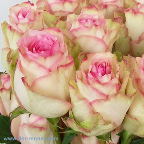 Rosen - in (fast) allen Farben und Längen - von der roten Red Naomi, über die edle weiße Avalanche, bis hin zur zarten rosafarbenen Esperance aus Ecuador.
