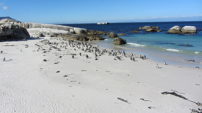 Photo : Échappée australe - manchots - Cape Town