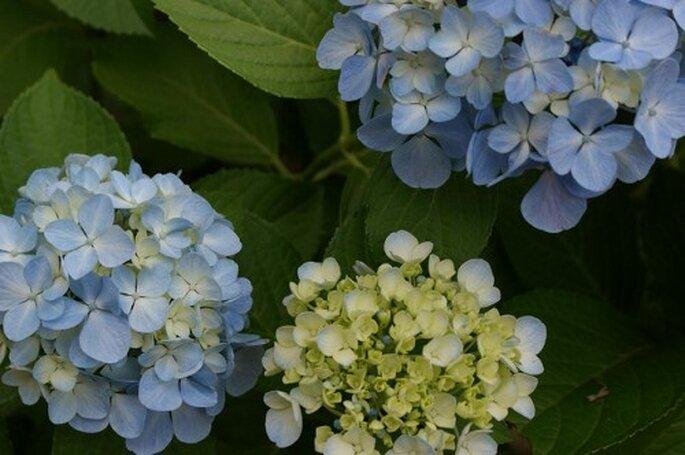 Hortensias en color azul se usaran en bodas del 2013 - Foto kobakou