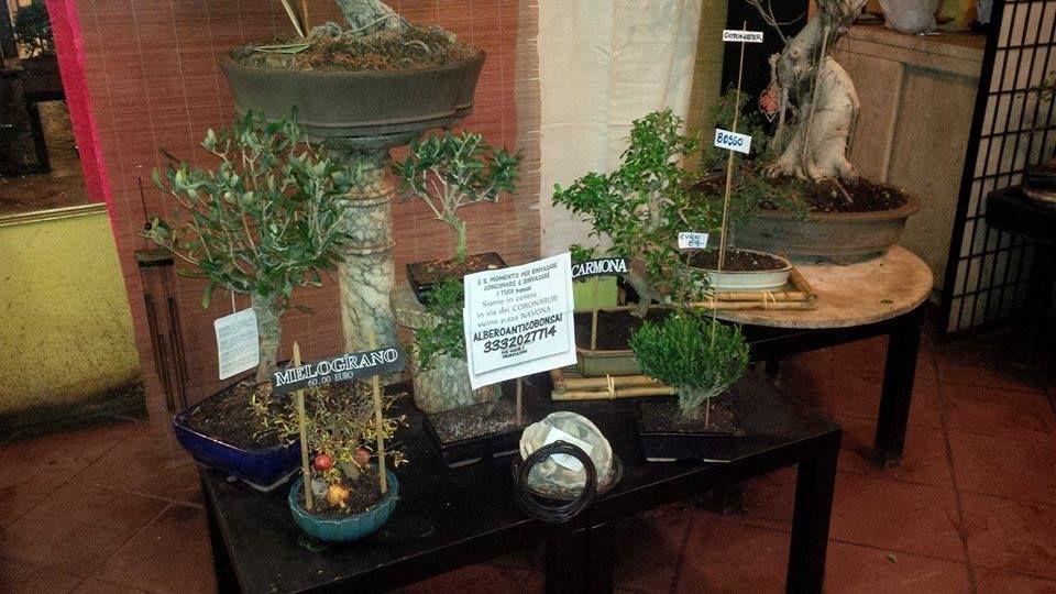 Albero Antico Bonsai