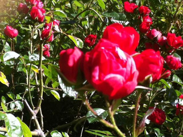 Nossas Roseiras