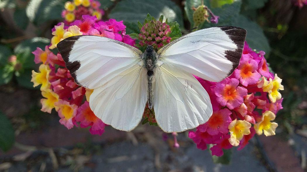 Alas de Amor Mariposas