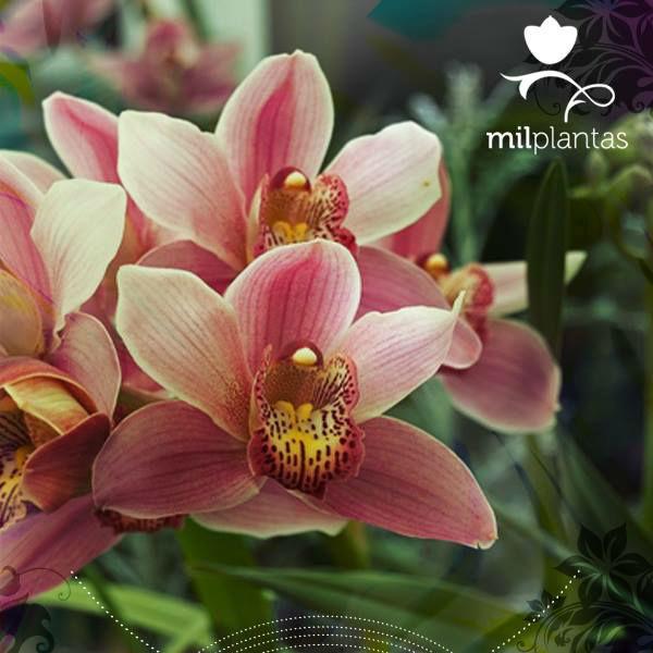 Milplantas