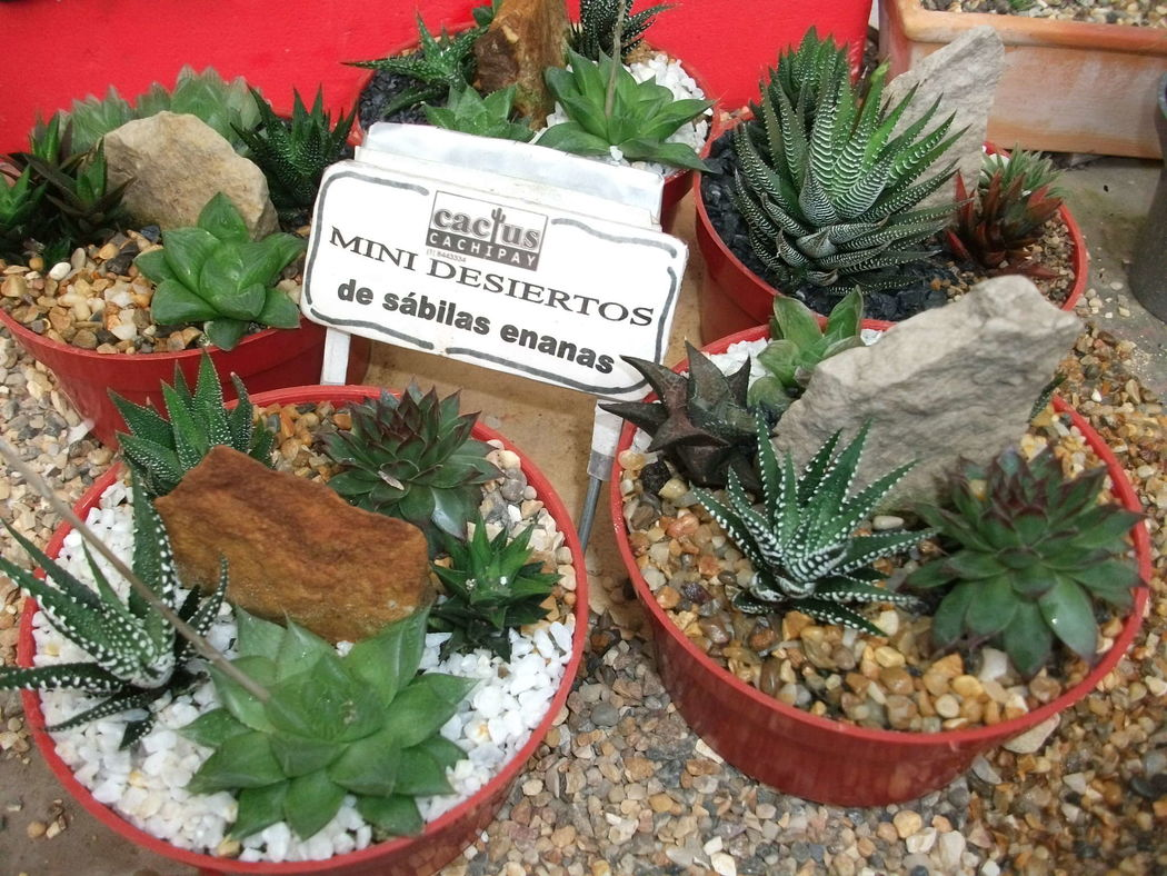 Cactus Cachipay y Otras Suculentas
