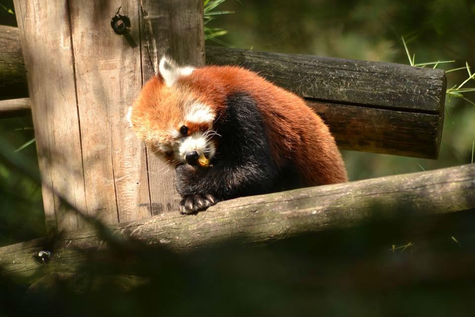 Rode panda Safaripark Beekse Bergen