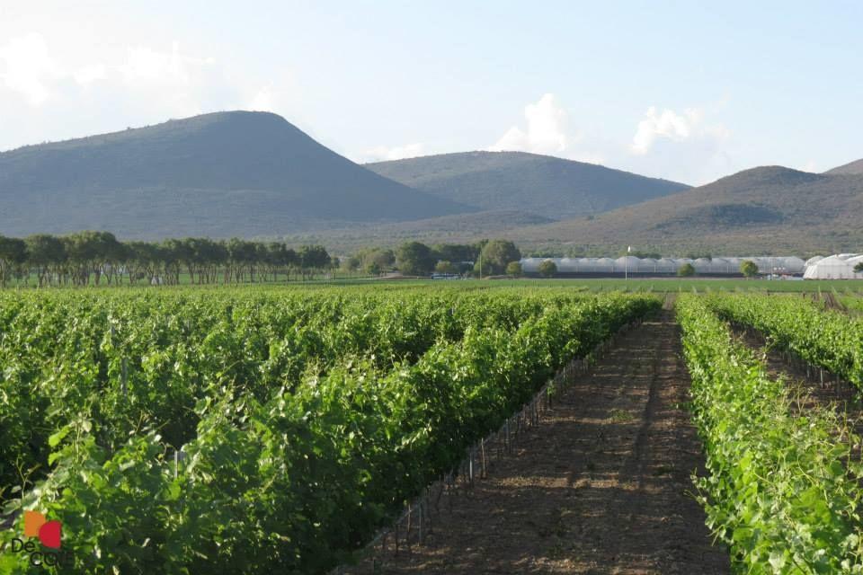 40  hectáreas de viñedo