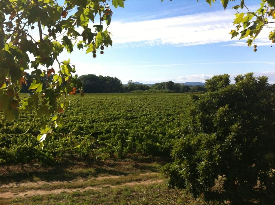 Château Rieutort - la vignoble